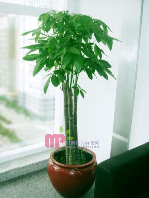 鲜花定购-发财树