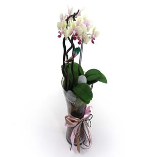 鲜花内部特供三中三资料-蝴蝶兰