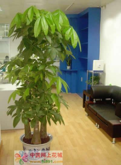 网上花店-发财树5