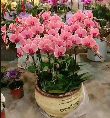 鲜花订购-蝴蝶兰