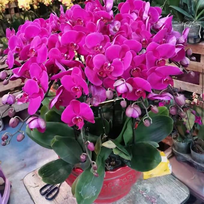 鲜花网-蝴蝶兰