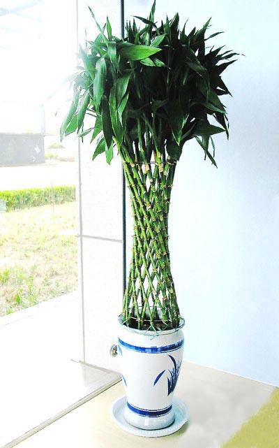 宁波绿植花卉-富贵笼