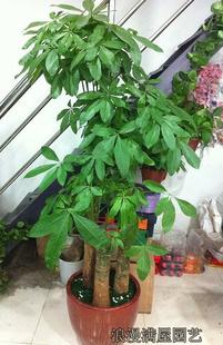西安绿植花卉-大型发财树
