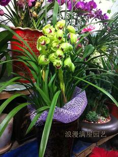西安绿植花卉-大花蕙兰