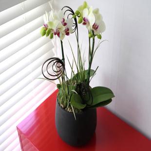 嘉兴绿植花卉-白色蝴蝶兰