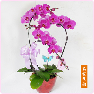 太原绿植花卉-蝴蝶兰