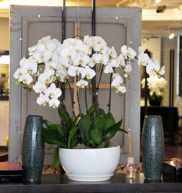 嘉兴绿植花卉-A级白色蝴蝶兰