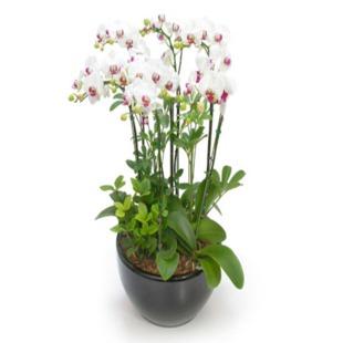 西安绿植花卉-蝴蝶兰