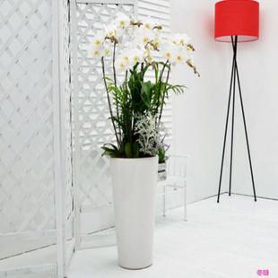 无锡绿植花卉-蝴蝶兰