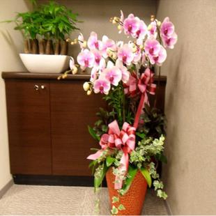苏州绿植花卉-蝴蝶兰