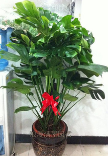 嘉兴绿植花卉-龟背竹