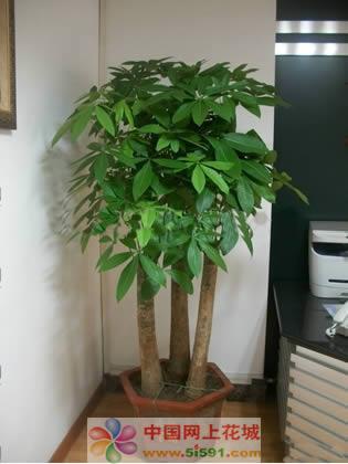 西安绿植花卉-发财树2