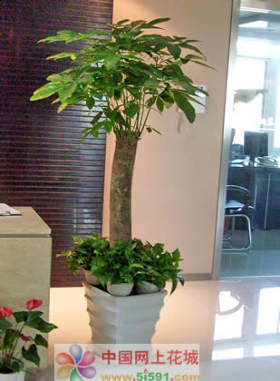 无锡绿植花卉-发财树3