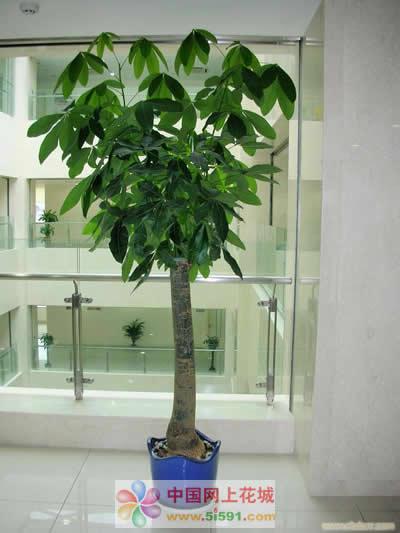衡水绿植花卉-发财树6