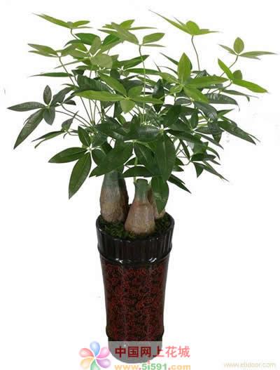 大连绿植花卉-发财树7