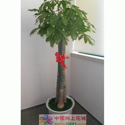 义乌绿植花卉-发财树8