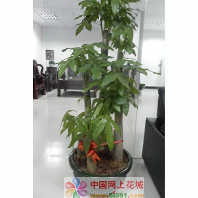 珠海绿植花卉-发财树9
