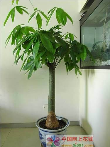 西安绿植花卉-发财树10