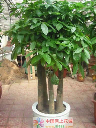 无锡绿植花卉-发财树12