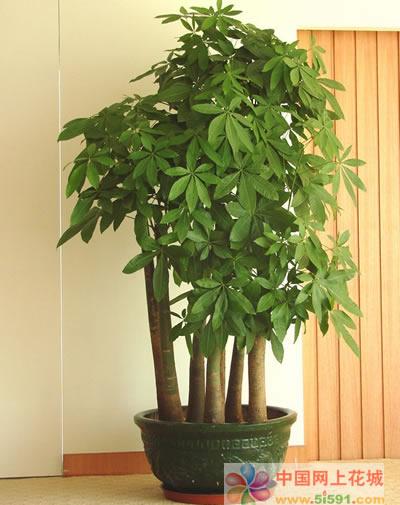 海阳绿植花卉-发财树13