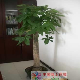 拉萨绿植花卉-发财树14