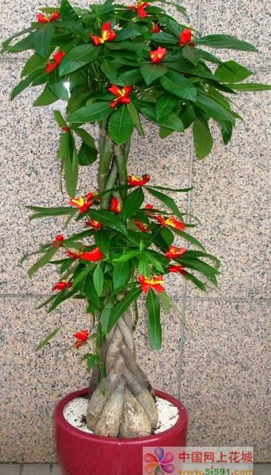 长沙绿植花卉-发财树15