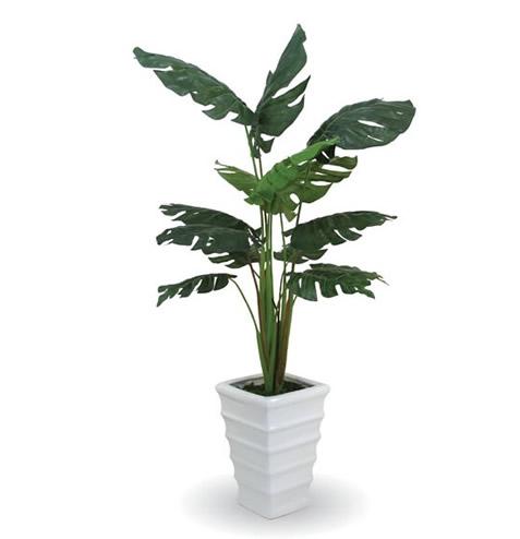嘉兴绿植花卉-龟背竹1