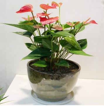 大连绿植花卉-红掌1