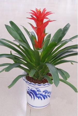 无锡绿植花卉-凤梨
