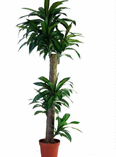 拉萨绿植花卉-巴西木