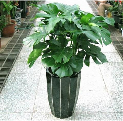 西安绿植花卉-龟背竹2