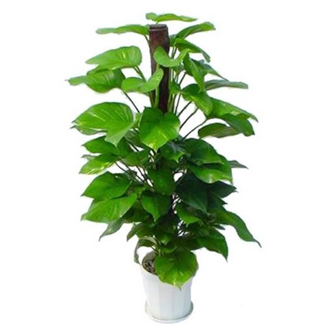 太原绿植花卉-绿萝