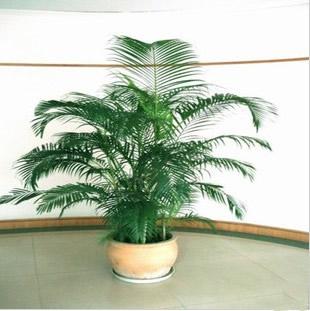 嘉兴绿植花卉-散尾葵3