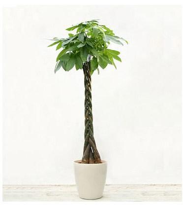 太原绿植花卉-发财树16