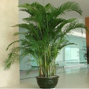 无锡绿植花卉-散尾葵4
