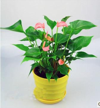 苏州绿植花卉-粉掌