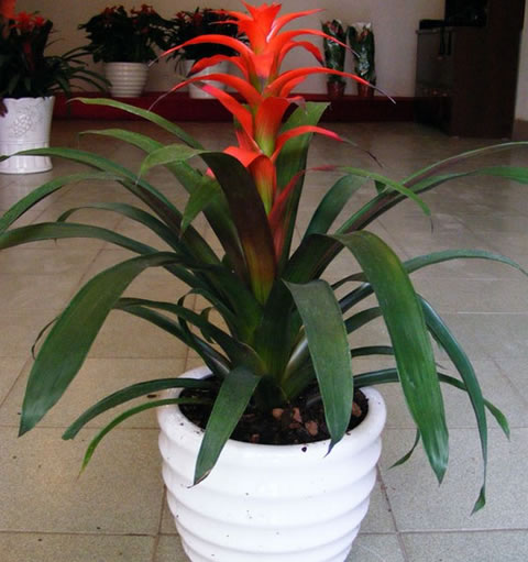 拉萨绿植花卉-凤梨