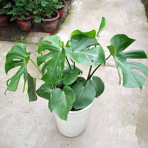 义乌绿植花卉-龟背竹3