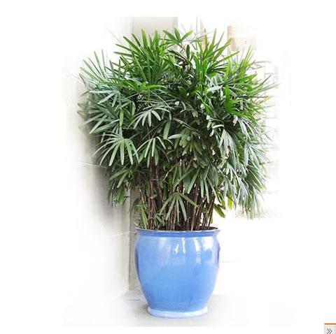 哈尔滨绿植花卉-棕竹