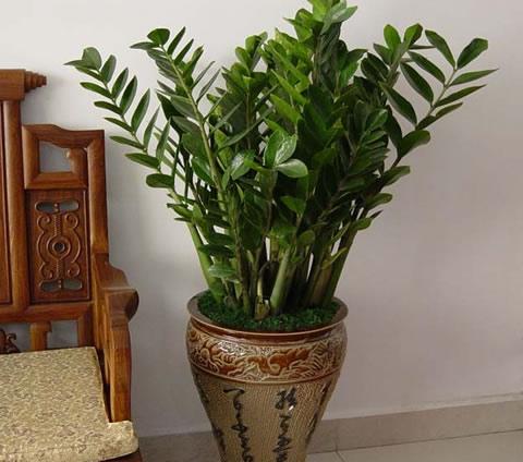 拉萨绿植花卉-金钱树