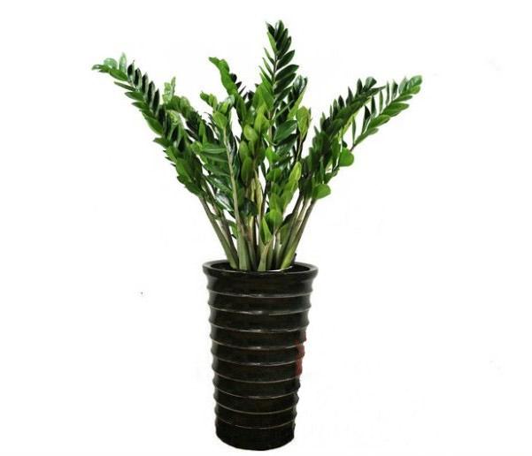大连绿植花卉-金钱树2