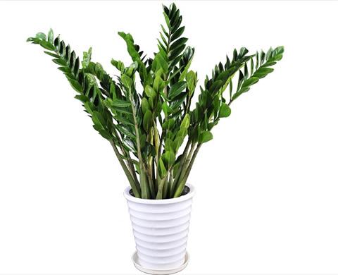 哈尔滨绿植花卉-金钱树4
