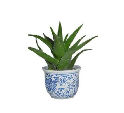 西安绿植花卉-芦荟2