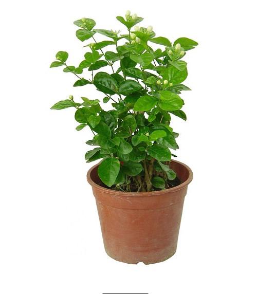 嘉兴绿植花卉-茉莉2