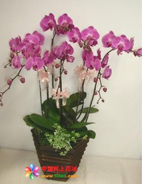 珠海绿植花卉-蝴蝶兰