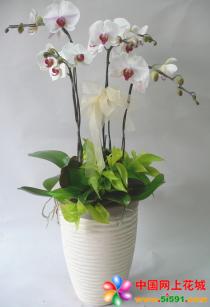 拉萨绿植花卉-蝴蝶兰