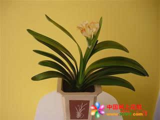 大连绿植花卉-君子兰